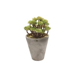 Green Tone Sedum Potted Succulent
